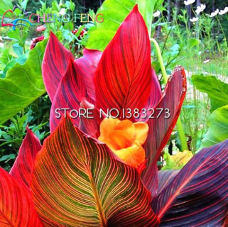 10 Pcs Canna Seeds Beautiful Flower