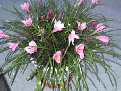 10 LILLY BULBS READY TO BLOOM THIS YEAR FREE SHIPPING WITH GIN