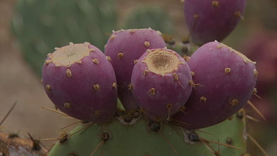 20+ prickly pear (cactus) seeds