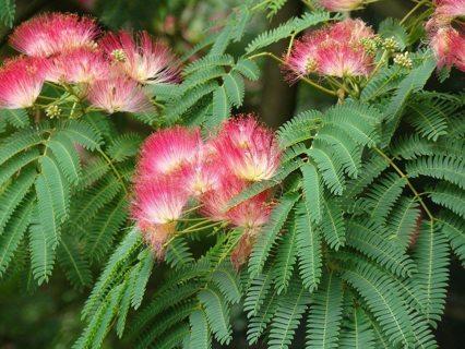 SEEDS - Mimosa (Silk) Tree Seeds