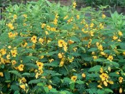 Partridge pea seeds #20