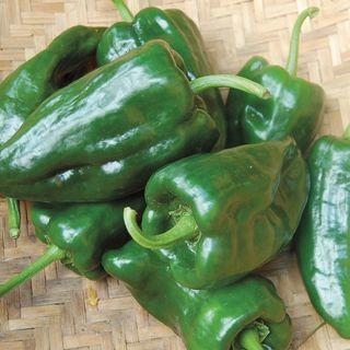 Poblano Pepper seeds.