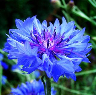 Blue Cornflower Seeds 50 Seeds Centaurea Cyanus Flower Garden Seeds Hot