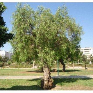Seeds - Pepper Tree Seeds