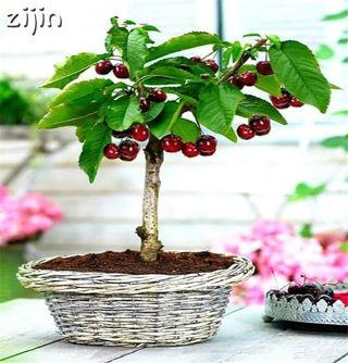 New Arrival 20pcs Organic Sweet Japan cherry plant garden Blooming Plants rare fruit