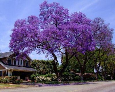 10 Royal Empress Tree seeds Stunning Purple Flowers in Spring Fast Growing