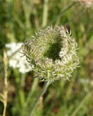20 Queen Anne's Lace seeds