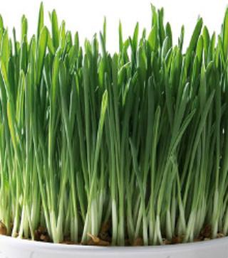 ~150 Cat grass seeds!~