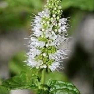 Spearmint Seeds