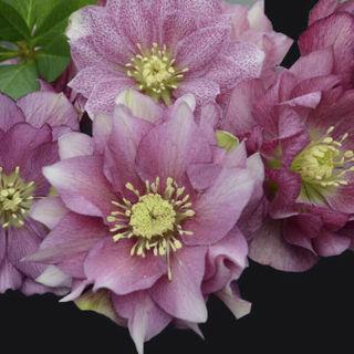 Helleborus MAID OF HONOR Double Lenten Rose Flower Hellebore Plant Perennial