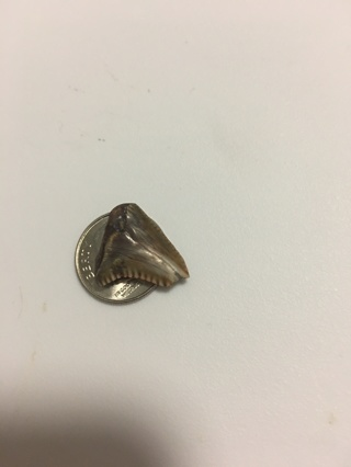 Authentic Prehistoric Shark Tooth
