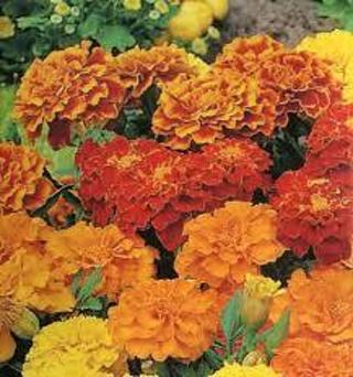 Marigold--Dwarf Double Mixed
