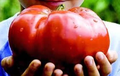 12 plus  Delicious Tomato seed....