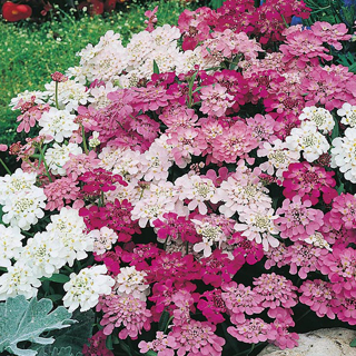 12 plus Iberis Candytuft seed...