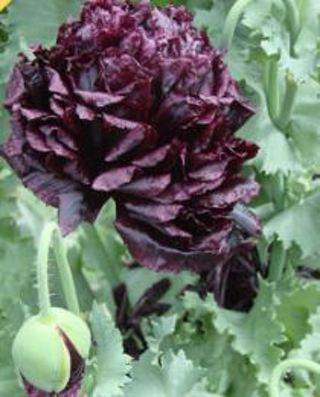 Pretty Black Peony Poppies--10 seeds
