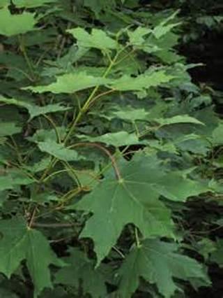 5 Sugar Maple seed...