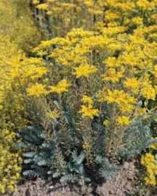25 plus Yellow Sedum seed -Flowering Perennial