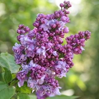 1 Lilac Shrub (Dormant)