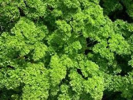 Dark Moss Curled Parsley 20 seeds