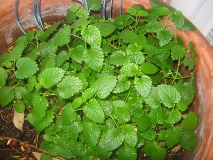 Spearmint 25+ Seeds