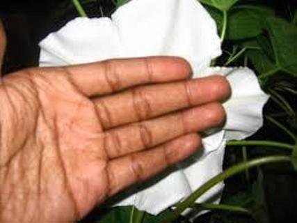 5 WHITE MOONFLOWER SEEDS