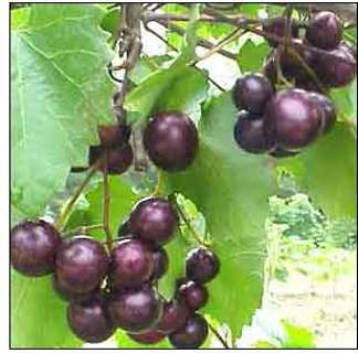 Muscadine Vine 5 Seeds