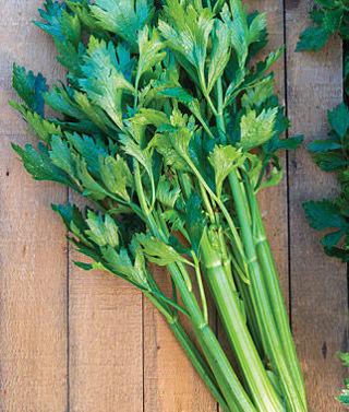 Tango Celery 15 seeds