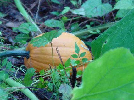 Pumpkin Seeds - Heirloom Mix - 10+ Seeds!