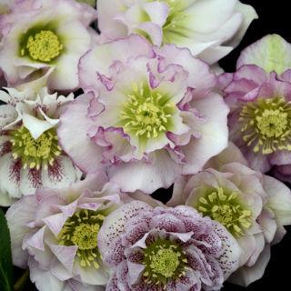 Helleborus Flower Girl Rare Flowering Perennial Live Plant Lenten Rose