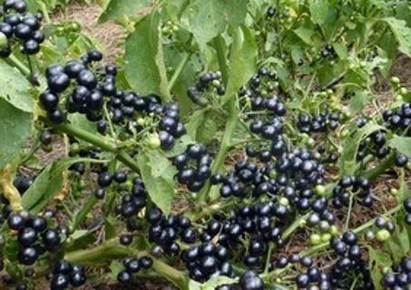 Free: Garden Huckleberry 15 seeds - Gardening Seeds & Bulbs - Listia ...