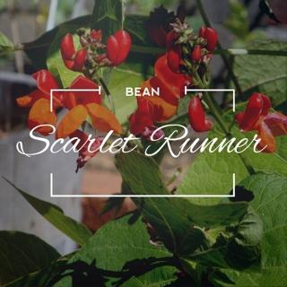 FREE 25 Hand-Harvested Flower Seeds ◠◡✿ SCARLETT RUNNER BEANS ✿◡◠
