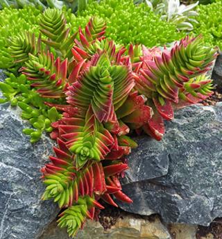 """Succulent Cactus Crassula Capitella """"Red Pagoda"""" Baby Cutting"""