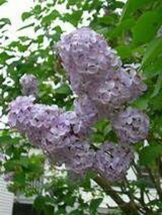Pretty lavender lilac seeds