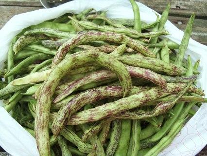 40 Rattlesnake Bean Seeds