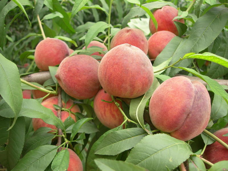 Free: 15PCS / bag Sweet Peach Seeds, Autumn Red Peach Tree ...