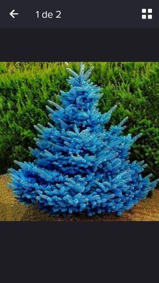 50 x Blue Spruce Seeds