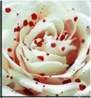 Blood Drop Rose