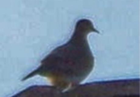 Pigeon Prints!  No tracking!