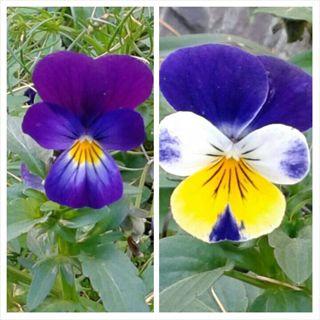 ♡Jonny Jump Up♡ Violets 40+seeds!!!