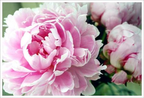 Pink Peony Seeds--The flower not the seeds