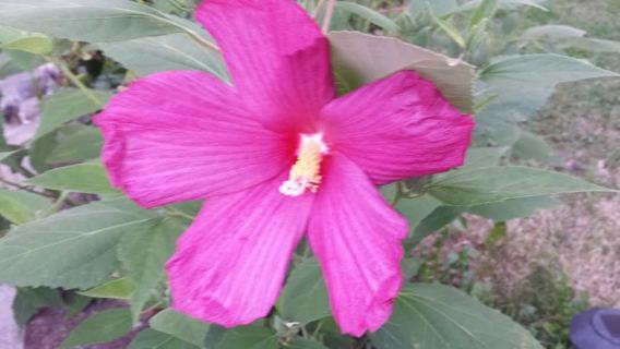 Hardy Giant Fuchsia Hibiscus