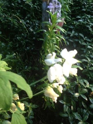 White Sweet Pea Vine seeds x20