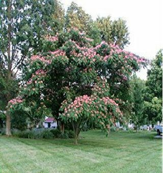 5 Mimosa Tree Seed Auction, Gin Use 50+ Seeds, Colors Pink, Purple, and White
