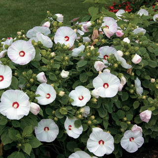 30 Plus (2014) Luna Pink Swirl Hibiscus Seeds
