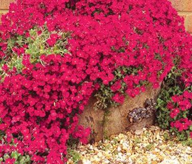 12 plus Aubrieta, Cascade Red seed...