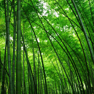 120 Seeds/2 Bags Fresh Giant Moso Bamboo Seeds for DIY Home Garden Plant