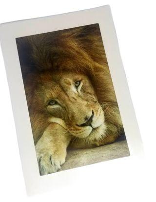 Lion print 4x6 in 5x7 mat card or art print New free ship