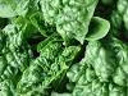 Please read description Spinach, Bloomsdale Long Standing variety, 50+ seeds