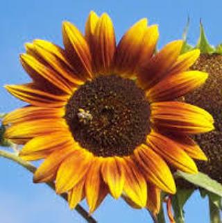 Autumn Beauty Sunflowers 5 Seeds