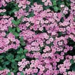 12 plus Saponaria -Ocymoides seed (Perennial)